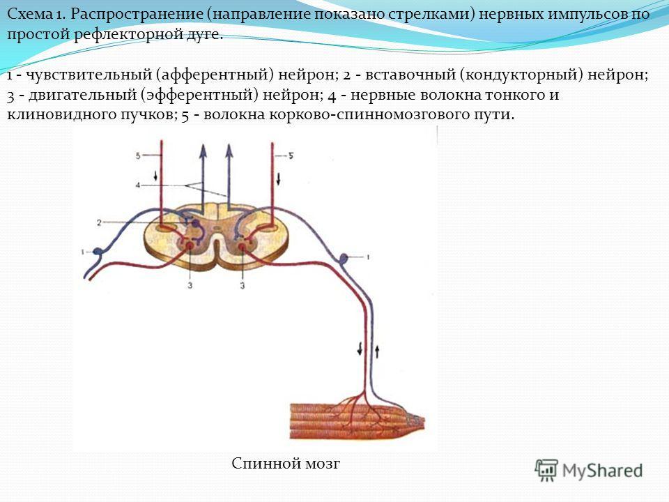 Схема 1. Распространение (направление показано стрелками) нервных импульсов по простой рефлекторной дуге. 1 - чувствительный (афферентный) нейрон; 2 - вставочный (кондукторный) нейрон; 3 - двигательный (эфферентный) нейрон; 4 - нервные волокна тонког