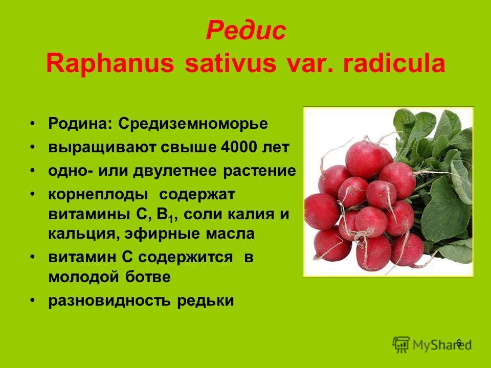 6 Редис Raphanus sativus var. radicula Родина: Средиземноморье выращивают свыше 4000 лет одно- или двулетнее растение корнеплоды содержат витамины С, В 1, соли калия и кальция, эфирные масла витамин С содержится в молодой ботве разновидность редьки