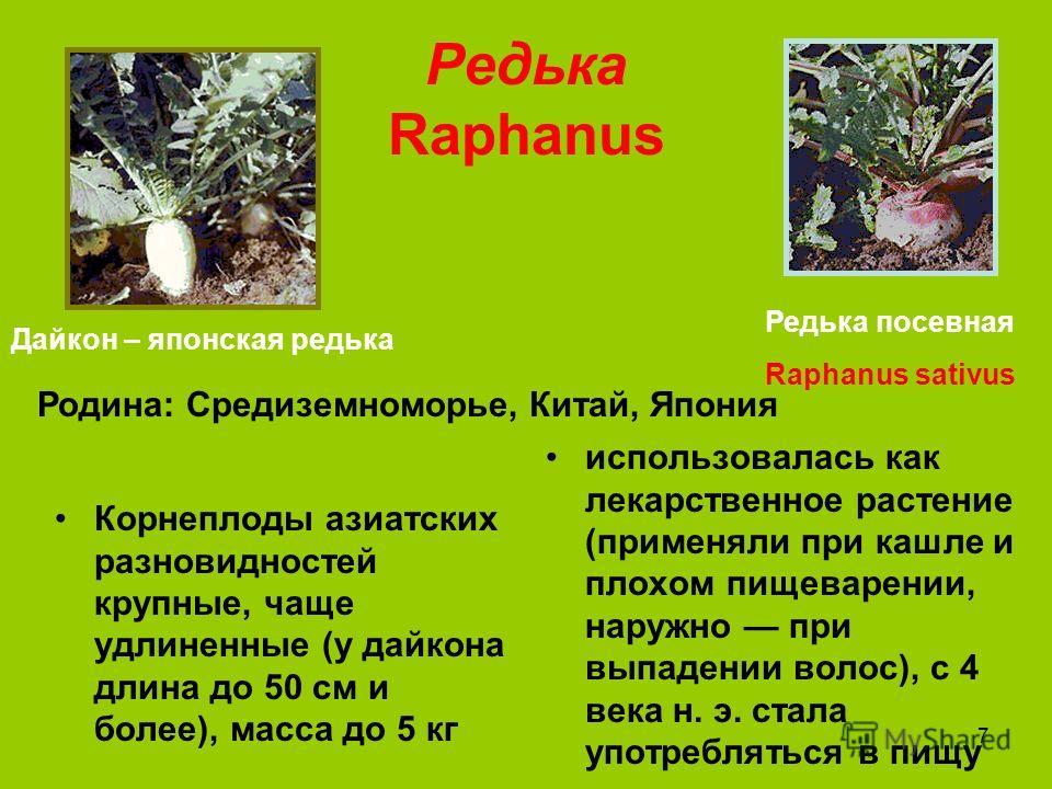 7 Редька Raphanus Корнеплоды азиатских разновидностей крупные, чаще удлиненные (у дайкона длина до 50 см и более), масса до 5 кг использовалась как лекарственное растение (применяли при кашле и плохом пищеварении, наружно при выпадении волос), с 4 ве