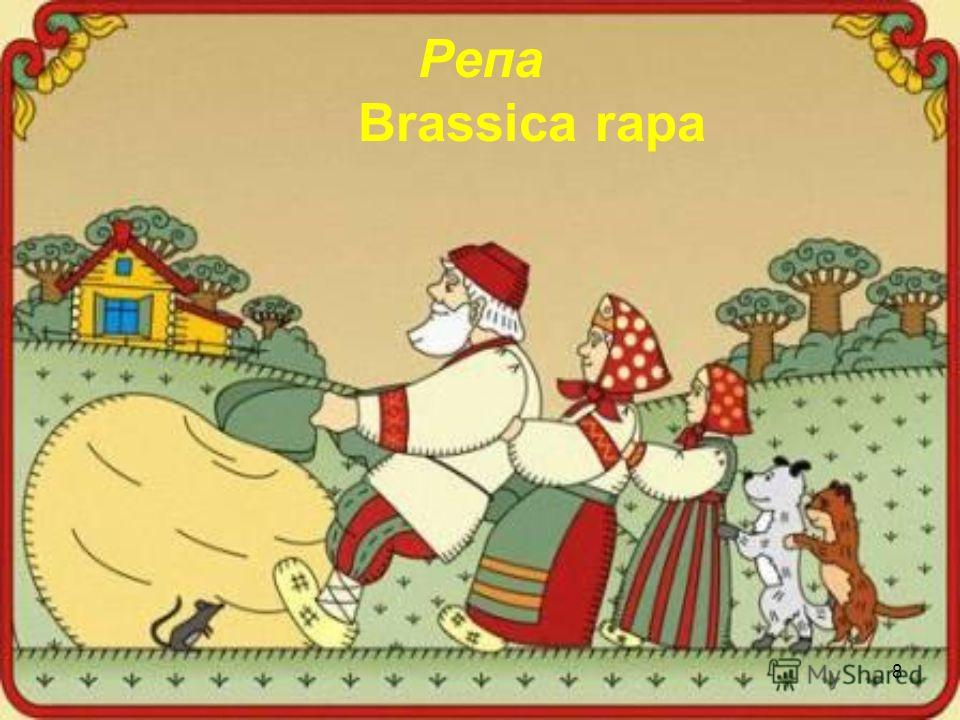 8 Репа Brassica rapa