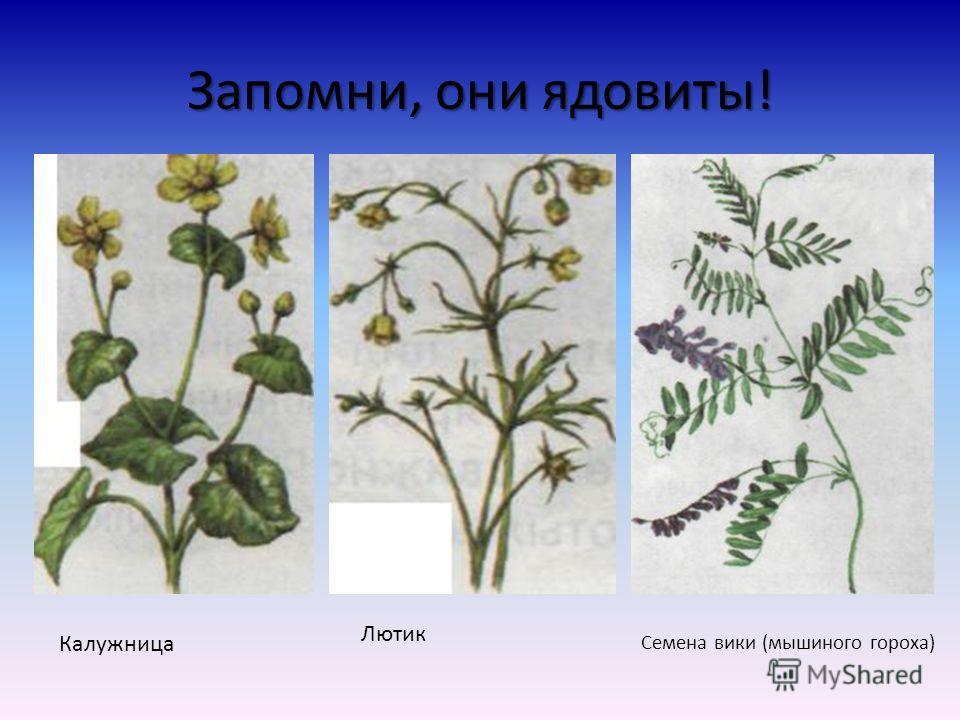 Растения луга ХвощПлакун-траваКровохлебка