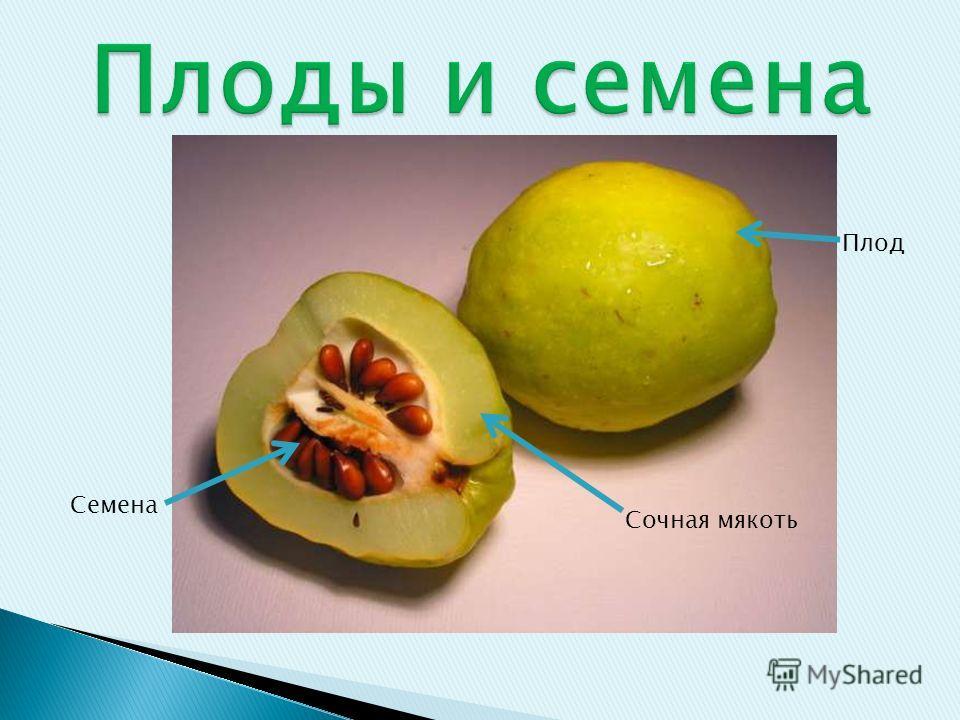 Плод Семена Сочная мякоть
