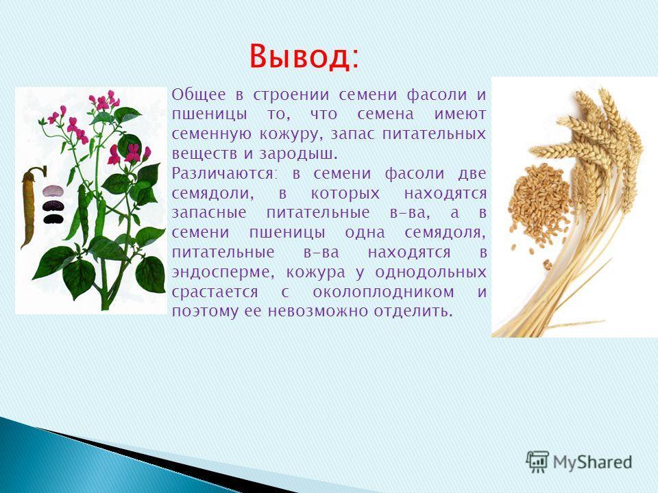 Общее в строении семени фасоли и пшеницы то, что семена имеют семенную кожуру, запас питательных веществ и зародыш. Различаются: в семени фасоли две семядоли, в которых находятся запасные питательные в-ва, а в семени пшеницы одна семядоля, питательны