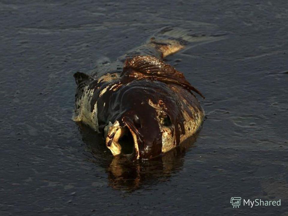 Основной загрязнитель океана – нефть. Как правило, это связано с транспортировкой нефти и с утечками из скважин. Большая масса нефти поступает в моря по рекам, с бытовыми и ливневыми стоками.