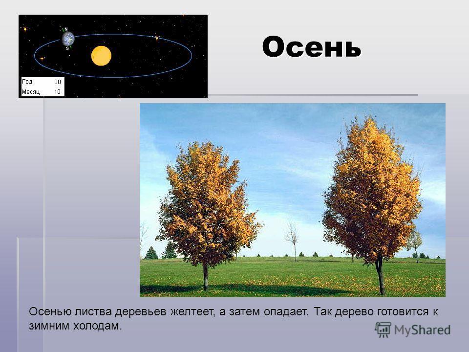 Осень Осенью листва деревьев желтеет, а затем опадает. Так дерево готовится к зимним холодам.