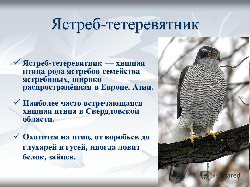 Ястреб-тетеревятник Ястреб-тетеревятник хищная птица рода ястребов семейства ястребиных, широко распространённая в Европе, Азии. Ястреб-тетеревятник хищная птица рода ястребов семейства ястребиных, широко распространённая в Европе, Азии. Наиболее час
