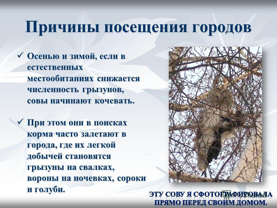 Причины посещения городов Осенью и зимой, если в естественных местообитаниях снижается численность грызунов, совы начинают кочевать. Осенью и зимой, если в естественных местообитаниях снижается численность грызунов, совы начинают кочевать. При этом о