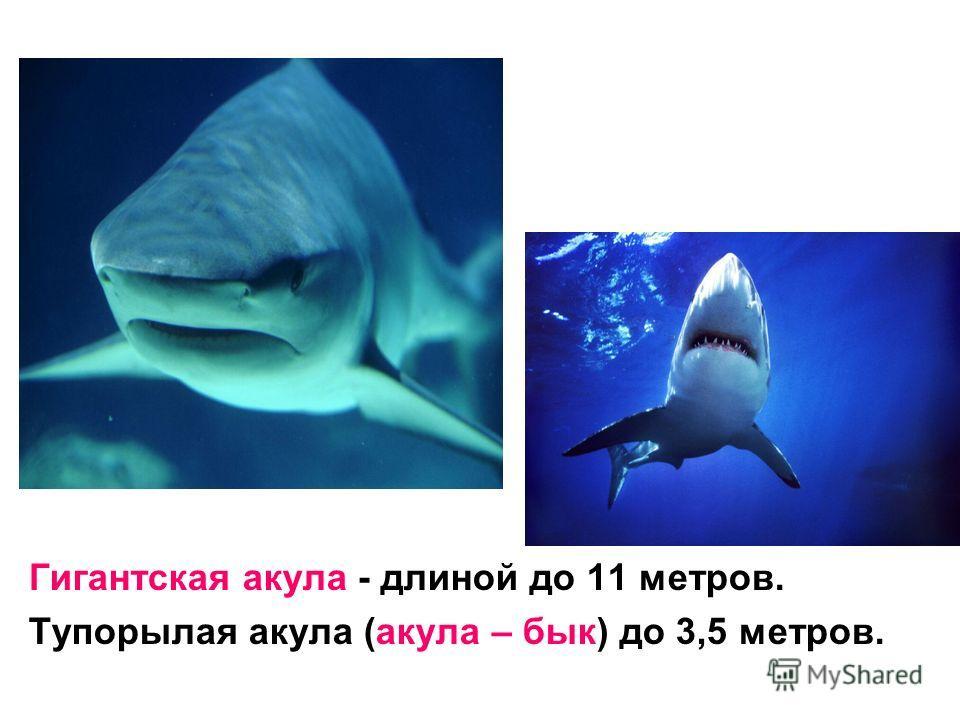 Гигантская акула - длиной до 11 метров. Тупорылая акула (акула – бык) до 3,5 метров.