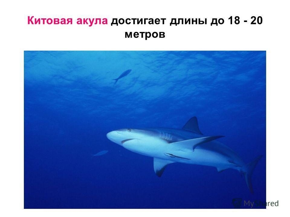 Китовая акула достигает длины до 18 - 20 метров