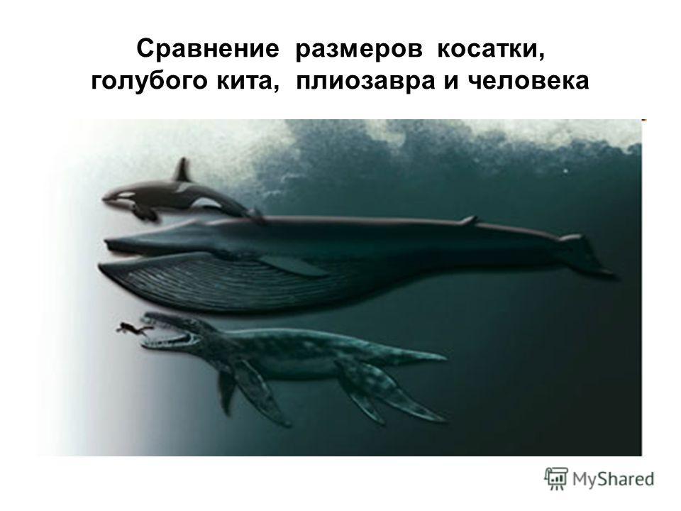 Сравнение размеров косатки, голубого кита, плиозавра и человека