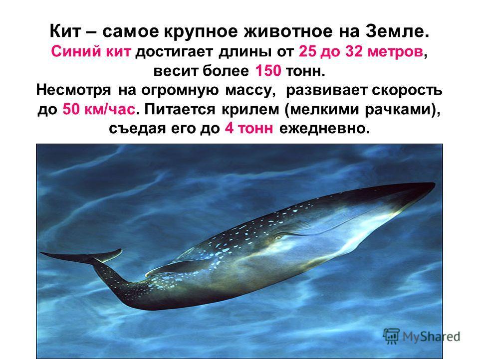 Кит – самое крупное животное на Земле. Синий кит достигает длины от 25 до 32 метров, весит более 150 тонн. Несмотря на огромную массу, развивает скорость до 50 км/час. Питается крилем (мелкими рачками), съедая его до 4 тонн ежедневно.
