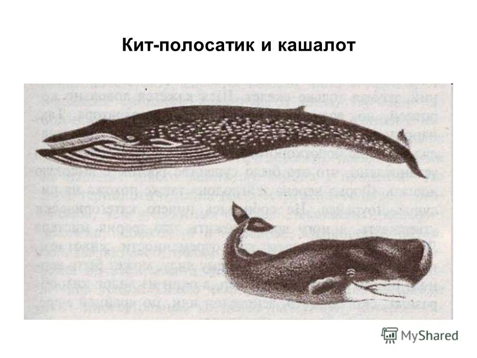Кит-полосатик и кашалот