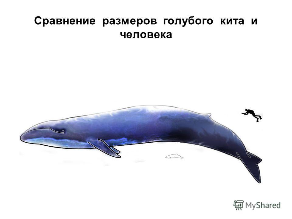 Сравнение размеров голубого кита и человека