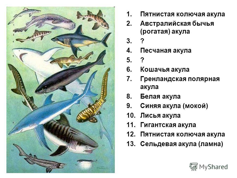 1.Пятнистая колючая акула 2.Австралийская бычья (рогатая) акула 3.? 4.Песчаная акула 5.? 6.Кошачья акула 7.Гренландская полярная акула 8.Белая акула 9.Синяя акула (мокой) 10.Лисья акула 11.Гигантская акула 12.Пятнистая колючая акула 13.Сельдевая акул
