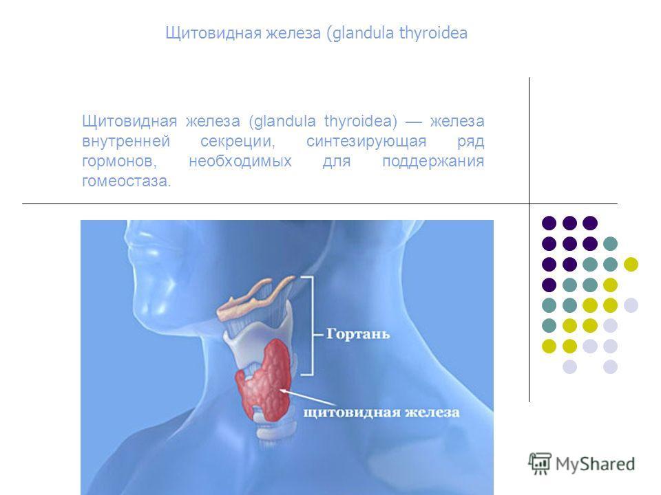 Щитовидная железа (glandula thyroidea) железа внутренней секреции, синтезирующая ряд гормонов, необходимых для поддержания гомеостаза. Щитовидная желе