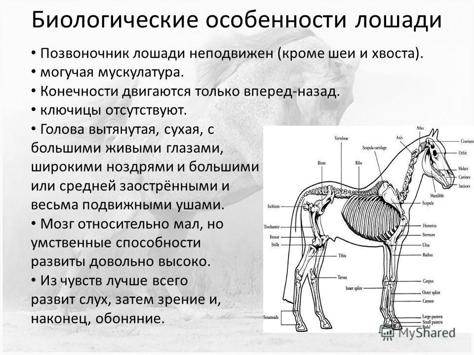 Биологические особенности лошади Позвоночник лошади неподвижен (кроме шеи и хвоста). могучая мускулатура. Конечности двигаются только вперед-назад. ключицы отсутствуют. Голова вытянутая, сухая, с большими живыми глазами, широкими ноздрями и большими