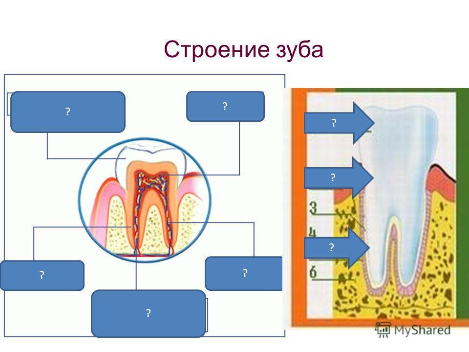 Строение зуба ? ? ? ? ? ? ? ?