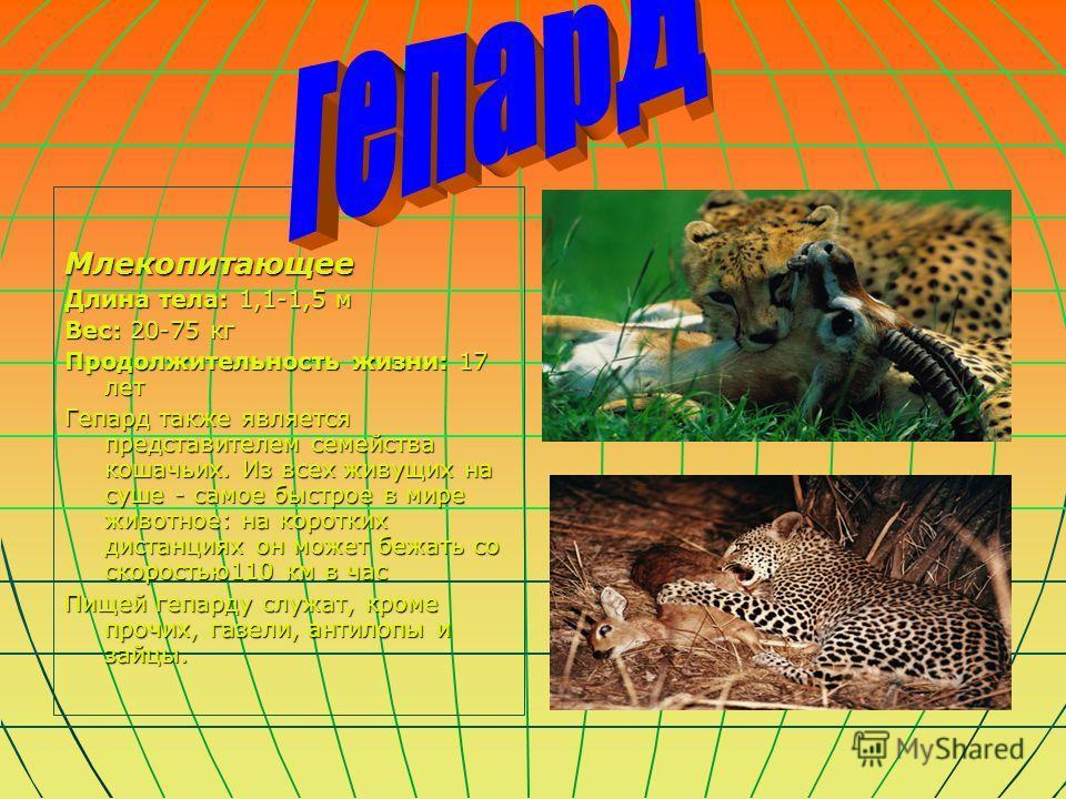Млекопитающее Длина тела: 1,1-1,5 м Вес: 20-75 кг Продолжительность жизни: 17 лет Гепард также является представителем семейства кошачьих. Из всех живущих на суше - самое быстрое в мире животное: на коротких дистанциях он может бежать со скоростью110