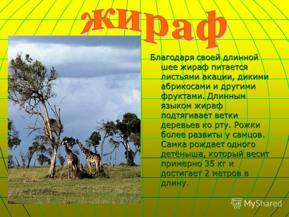 Благодаря своей длинной шее жираф питается листьями акации, дикими абрикосами и другими фруктами. Длинным языком жираф подтягивает ветки деревьев ко рту. Рожки более развиты у самцов. Самка рождает одного детёныша, который весит примерно 35 кг и дост