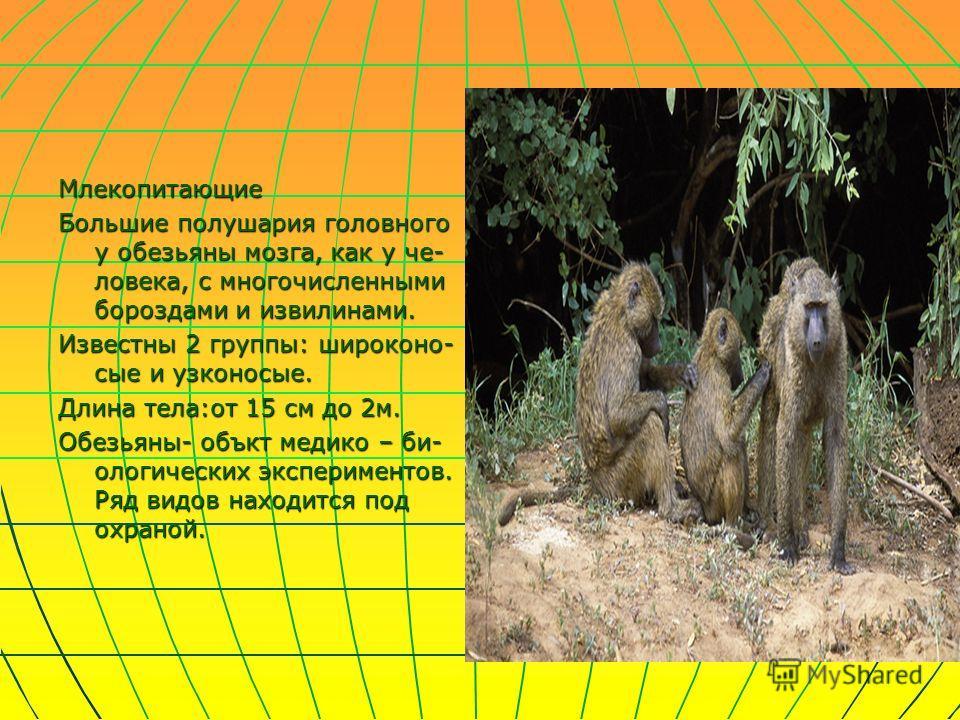 Млекопитающие Большие полушария головного у обезьяны мозга, как у че- ловека, с многочисленными бороздами и извилинами. Известны 2 группы: широконо- сые и узконосые. Длина тела:от 15 см до 2м. Обезьяны- объкт медико – би- ологических экспериментов. Р