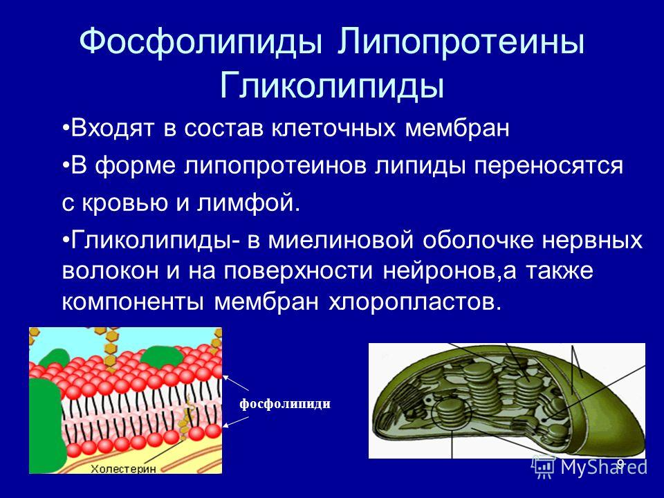9 Фосфолипиды Липопротеины Гликолипиды Входят в состав клеточных мембран В форме липопротеинов липиды переносятся с кровью и лимфой. Гликолипиды- в миелиновой оболочке нервных волокон и на поверхности нейронов,а также компоненты мембран хлоропластов.