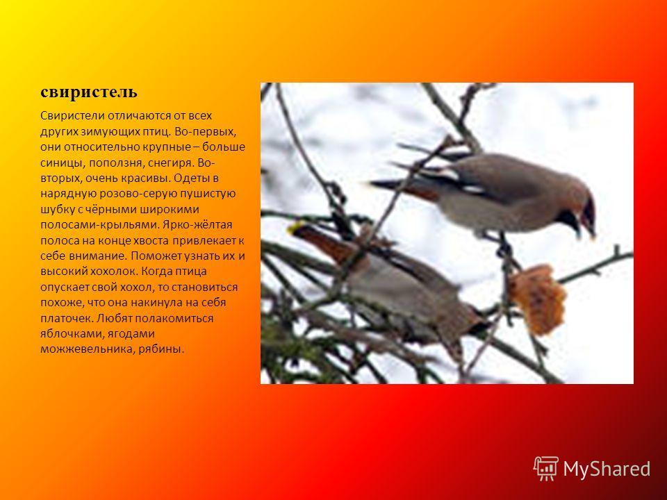 свиристель Свиристели отличаются от всех других зимующих птиц. Во-первых, они относительно крупные – больше синицы, поползня, снегиря. Во- вторых, очень красивы. Одеты в нарядную розово-серую пушистую шубку с чёрными широкими полосами-крыльями. Ярко-
