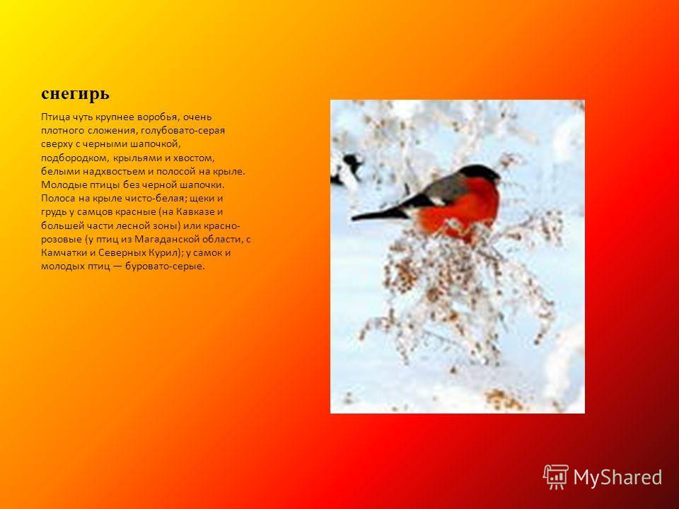 снегирь Птица чуть крупнее воробья, очень плотного сложения, голубовато-серая сверху с черными шапочкой, подбородком, крыльями и хвостом, белыми надхвостьем и полосой на крыле. Молодые птицы без черной шапочки. Полоса на крыле чисто-белая; щеки и гру