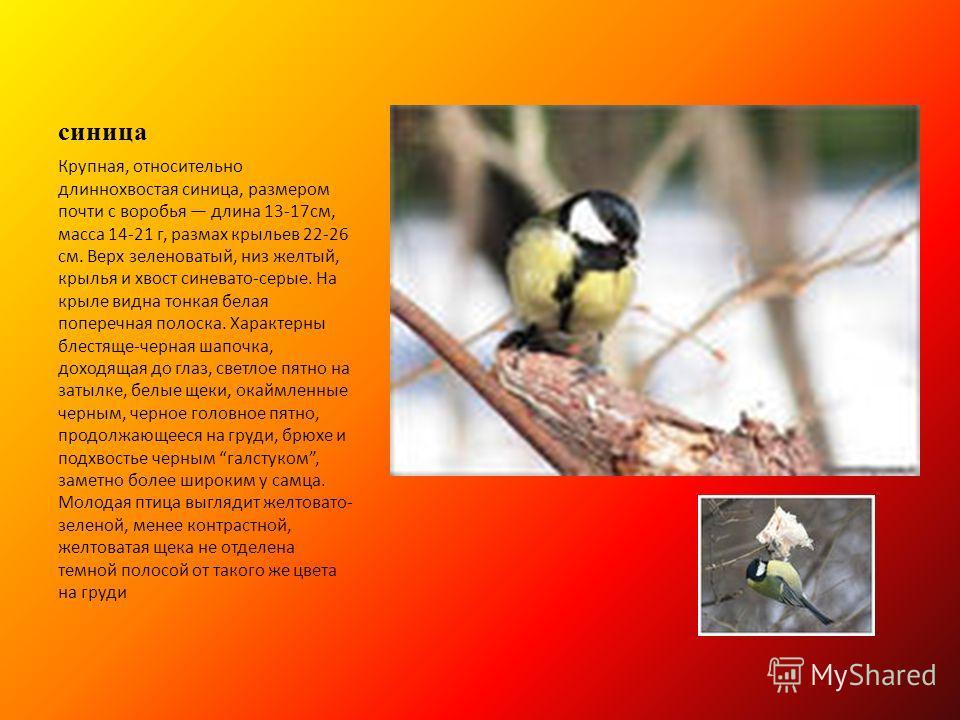 синица Крупная, относительно длиннохвостая синица, размером почти с воробья длина 13-17см, масса 14-21 г, размах крыльев 22-26 см. Верх зеленоватый, низ желтый, крылья и хвост синевато-серые. На крыле видна тонкая белая поперечная полоска. Характерны