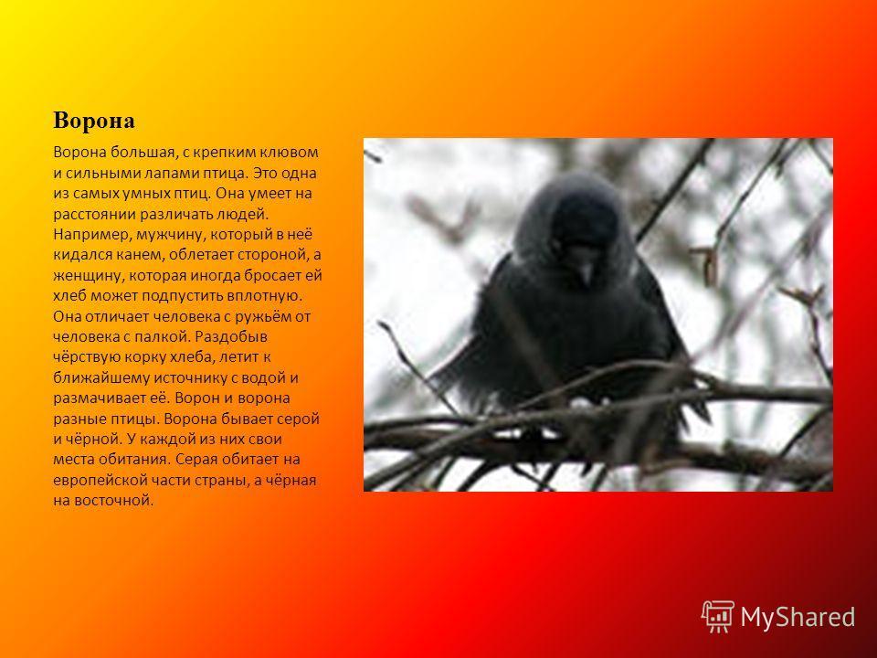Ворона Ворона большая, с крепким клювом и сильными лапами птица. Это одна из самых умных птиц. Она умеет на расстоянии различать людей. Например, мужчину, который в неё кидался канем, облетает стороной, а женщину, которая иногда бросает ей хлеб может