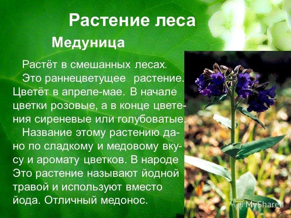 Растение леса Медуница Растёт в смешанных лесах. Это раннецветущее растение. Цветёт в апреле-мае. В начале цветки розовые, а в конце цвете- ния сиреневые или голубоватые. Название этому растению да- но по сладкому и медовому вку- су и аромату цветков