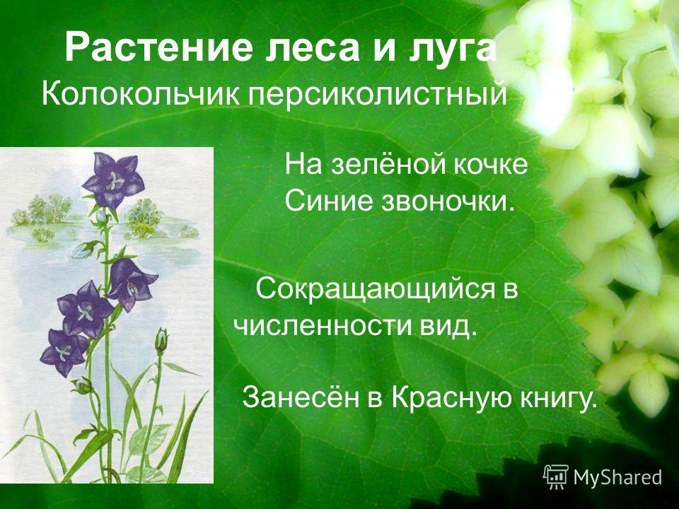 Растение леса и луга Колокольчик персиколистный Сокращающийся в численности вид. Занесён в Красную книгу. На зелёной кочке Синие звоночки.