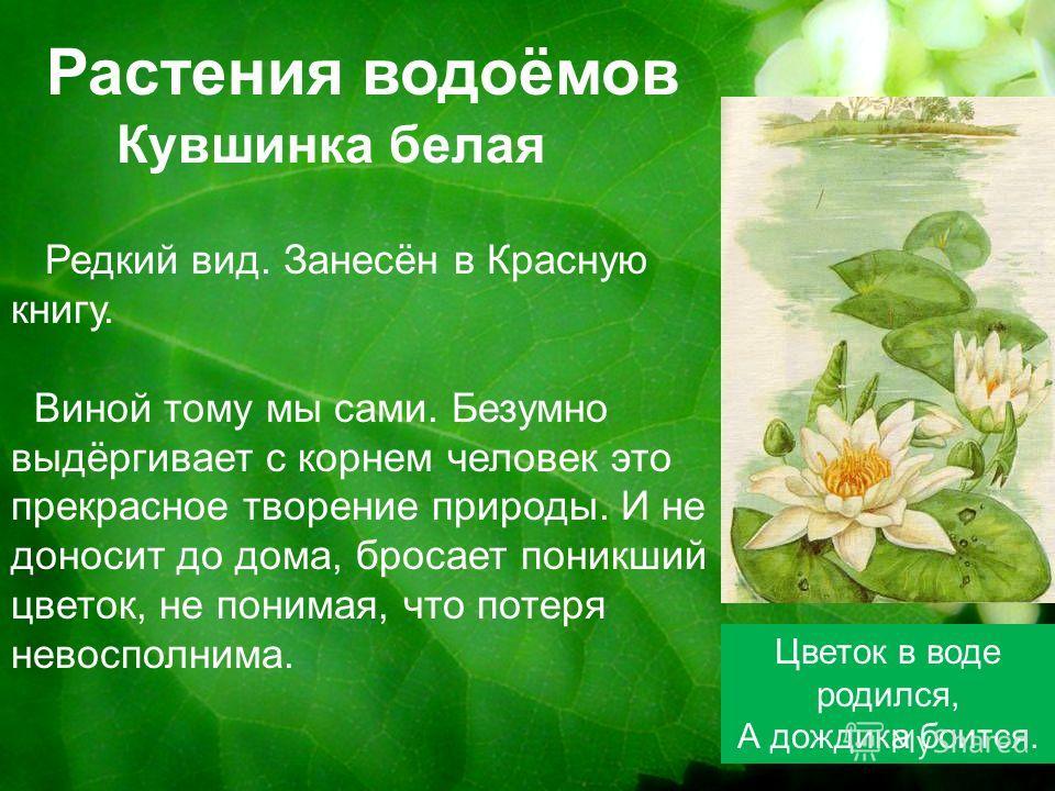 Растения водоёмов Кувшинка белая Цветок в воде родился, А дождика боится. Редкий вид. Занесён в Красную книгу. Виной тому мы сами. Безумно выдёргивает с корнем человек это прекрасное творение природы. И не доносит до дома, бросает поникший цветок, не
