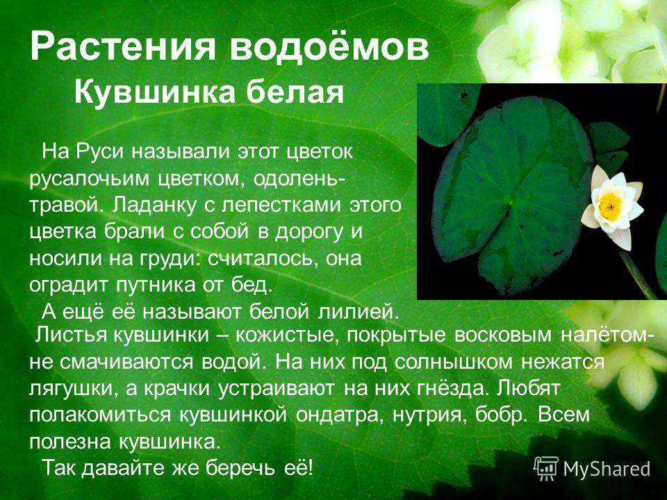 Растения водоёмов Кувшинка белая На Руси называли этот цветок русалочьим цветком, одолень- травой. Ладанку с лепестками этого цветка брали с собой в дорогу и носили на груди: считалось, она оградит путника от бед. А ещё её называют белой лилией. Лист