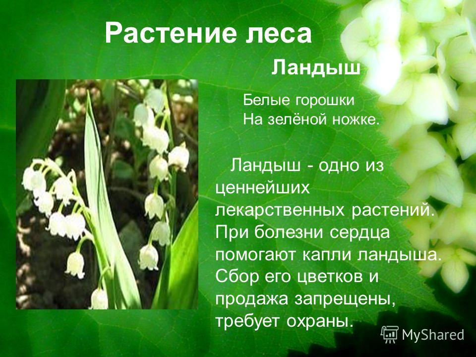 Растение леса Ландыш Ландыш - одно из ценнейших лекарственных растений. При болезни сердца помогают капли ландыша. Сбор его цветков и продажа запрещены, требует охраны. Белые горошки На зелёной ножке.