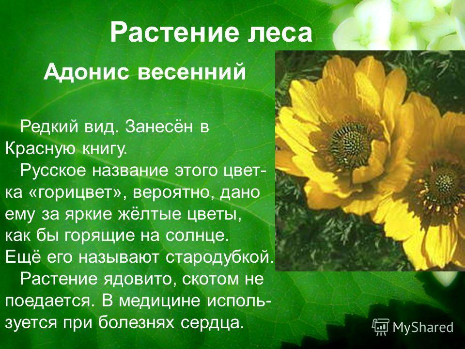Растение леса Редкий вид. Занесён в Красную книгу. Русское название этого цвет- ка «горицвет», вероятно, дано ему за яркие жёлтые цветы, как бы горящие на солнце. Ещё его называют стародубкой. Растение ядовито, скотом не поедается. В медицине исполь-