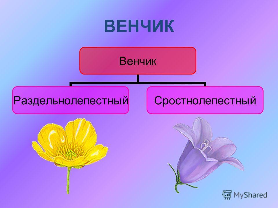ВЕНЧИК Венчик РаздельнолепестныйСростнолепестный
