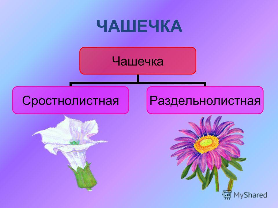 ЧАШЕЧКА Чашечка Сростнолистная Раздельнолистна я
