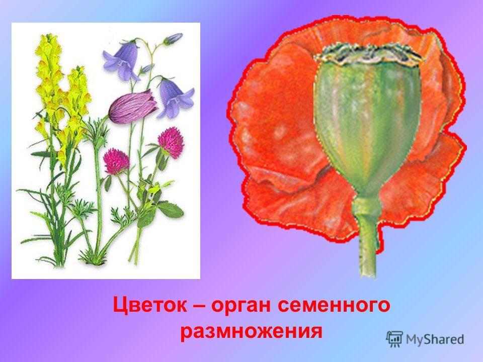 Цветок – орган семенного размножения