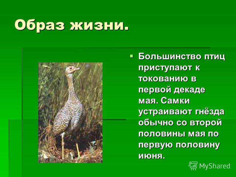 Образ жизни. Большинство птиц приступают к токованию в первой декаде мая. Самки устраивают гнёзда обычно со второй половины мая по первую половину июня.