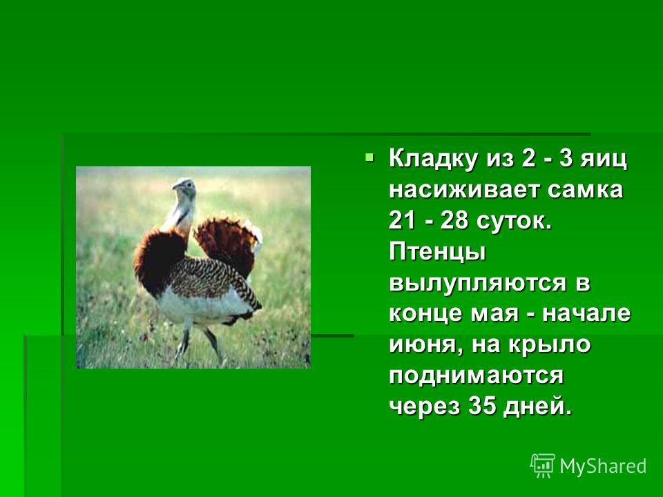 Кладку из 2 - 3 яиц насиживает самка 21 - 28 суток. Птенцы вылупляются в конце мая - начале июня, на крыло поднимаются через 35 дней.