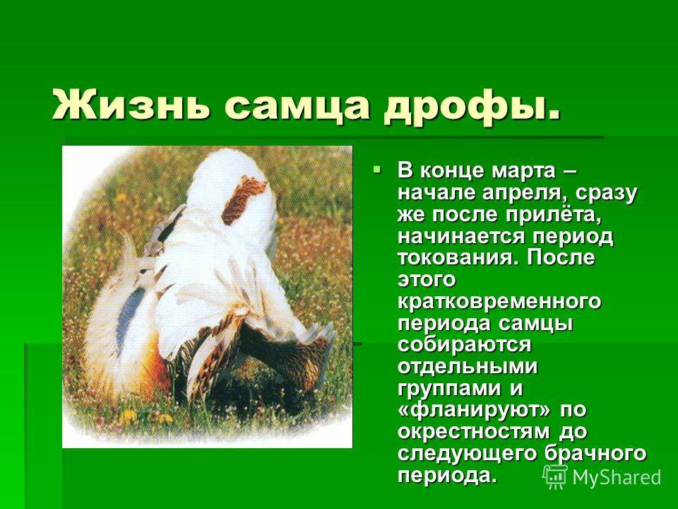 Жизнь самца дрофы. В конце марта – начале апреля, сразу же после прилёта, начинается период токования. После этого кратковременного периода самцы собираются отдельными группами и «фланируют» по окрестностям до следующего брачного периода.