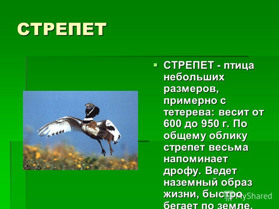 СТРЕПЕТ СТРЕПЕТ - птица небольших размеров, примерно с тетерева: весит от 600 до 950 г. По общему облику стрепет весьма напоминает дрофу. Ведет наземный образ жизни, быстро бегает по земле. СТРЕПЕТ - птица небольших размеров, примерно с тетерева: вес