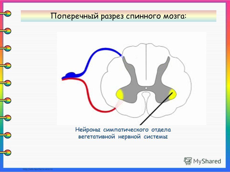 Нейроны симпатического отдела вегетативной нервной системы Поперечный разрез спинного мозга: