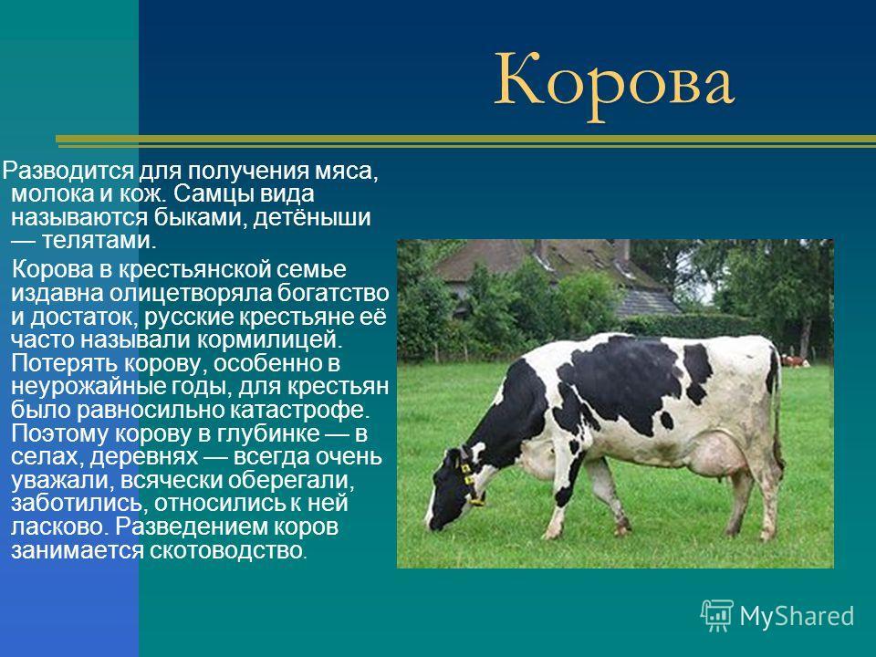 Презентация на тему Домашние животные Корова Разводится для  2 Корова Разводится