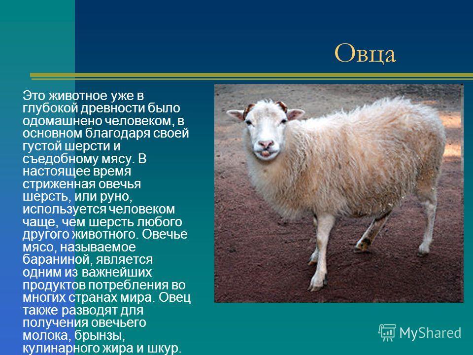 Овца Это животное уже в глубокой древности было одомашнено человеком, в основном благодаря своей густой шерсти и съедобному мясу. В настоящее время стриженная овечья шерсть, или руно, используется человеком чаще, чем шерсть любого другого животного.
