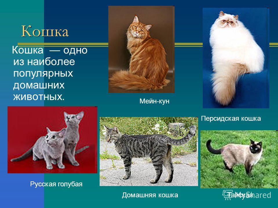 Кошка Кошка одно из наиболее популярных домашних животных. Мейн-кун Персидская кошка Русская голубая ТайскаяДомашняя кошка