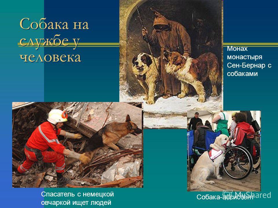 Собака на службе у человека Mонах монастыря Сен-Бернар с собаками Спасатель с немецкой овчаркой ищет людей Cобака-ассистент