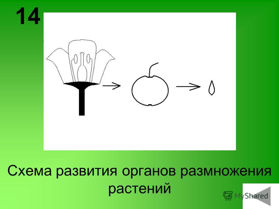 Схема развития органов размножения растений 14