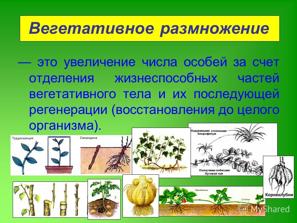 Вегетативное размножение это увеличение числа особей за счет отделения жизнеспособных частей вегетативного тела и их последующей регенерации (восстановления до целого организма).