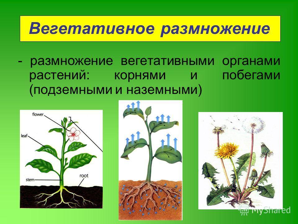 размножение вегетативными